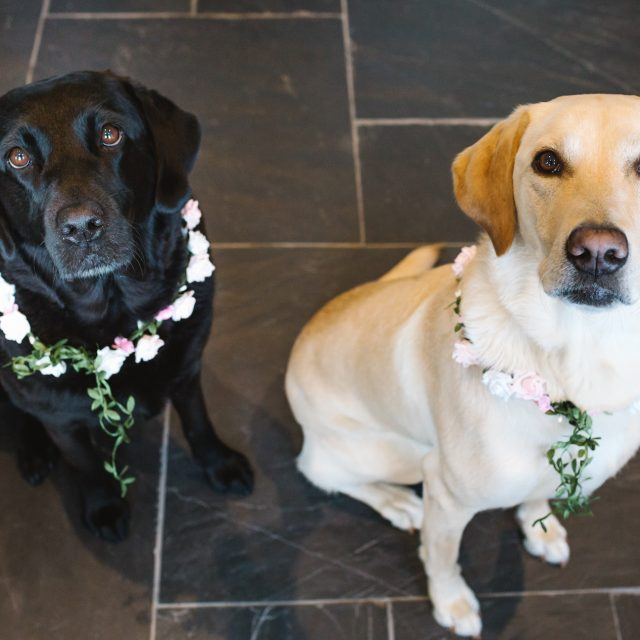 Labradors with flower collars at wedding